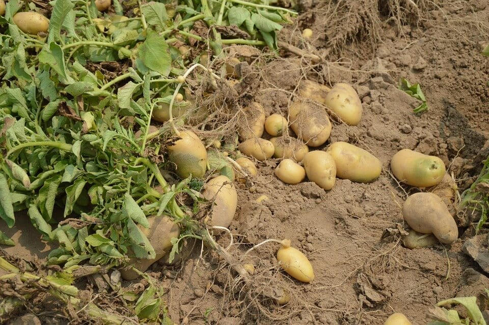 Potato-farming-business-crop-farming-business-ideas