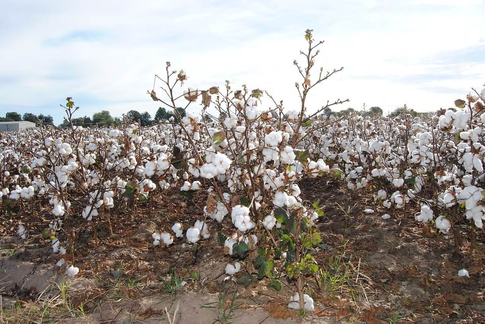 agribusiness-ideas-cotton-farming