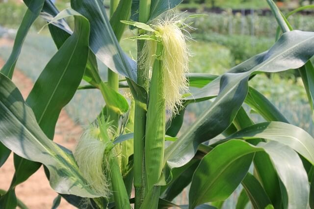 agrobusiness-ideas-maize-farming-business-idea