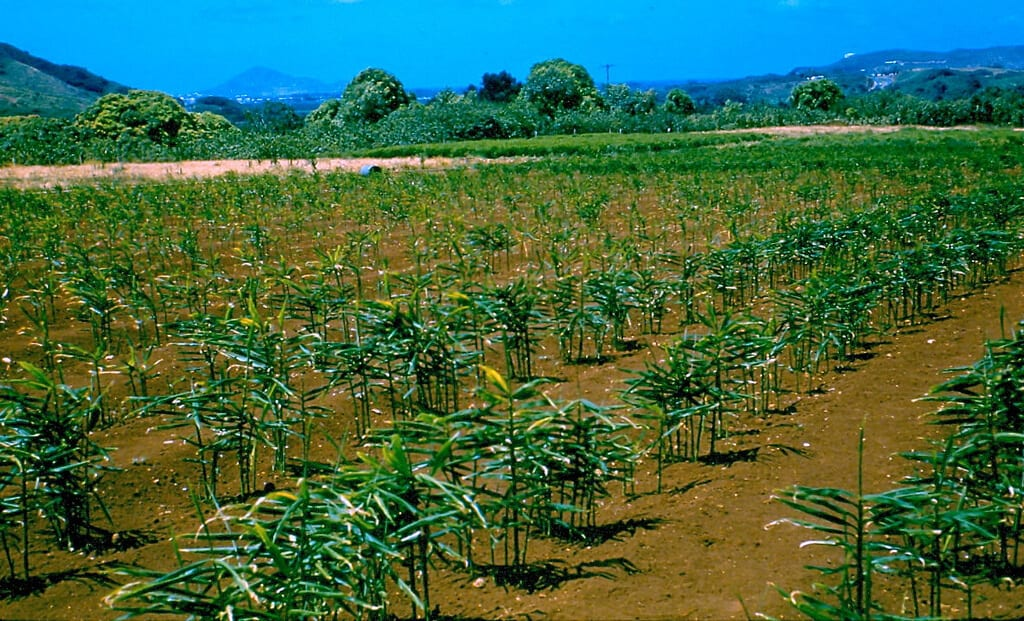 crop-farming business ideas-ginger-farming-business-idea