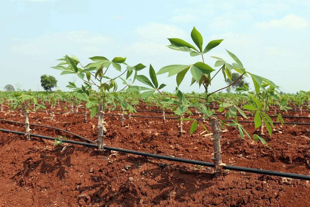planting cassava with Drip irrigation system