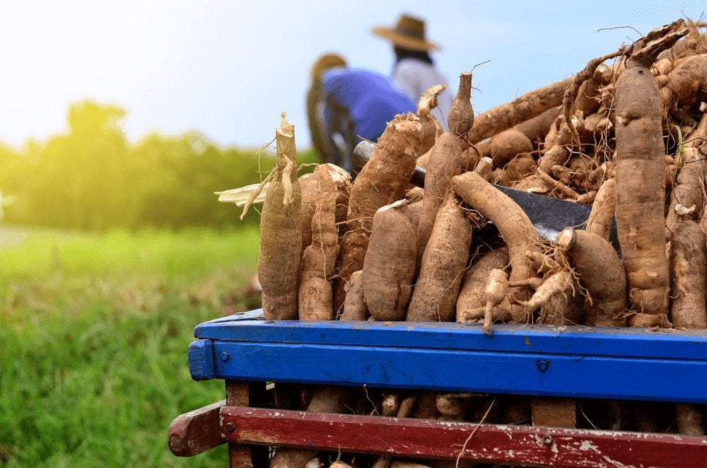 Harvested Cassava tubers