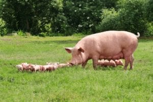 Benefits-of-commercial-pig-farming-business