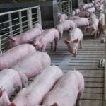 commercial pig farming business 5
