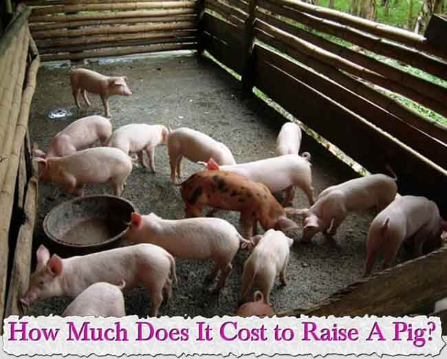 costs involved in Commercial pig farming business