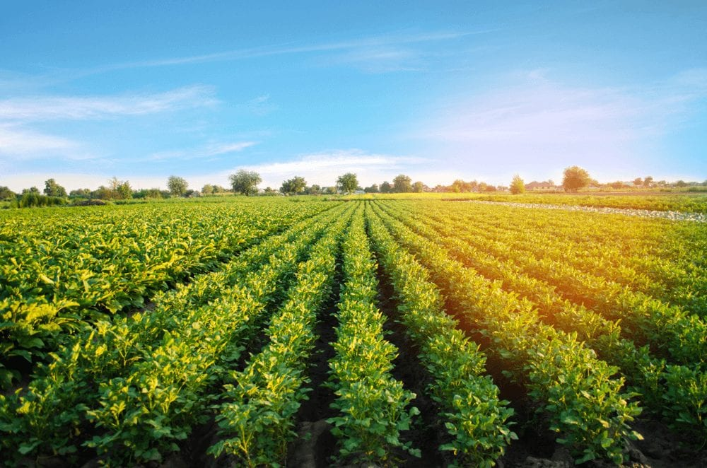 Potato farming in Nigeria - A large potato farm