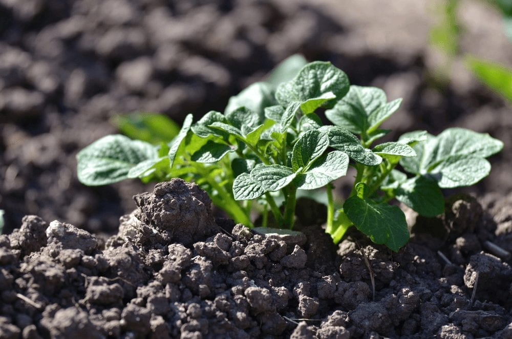 Potato Farming process- sprouting potato
