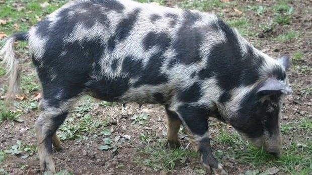 Arapawa Island pig breed