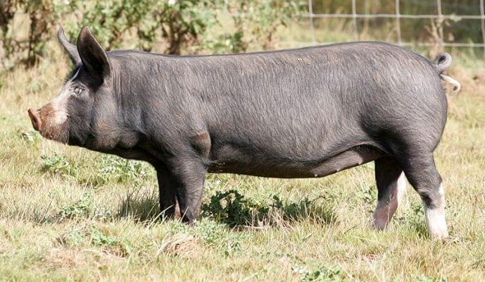 Berkshire pig breed