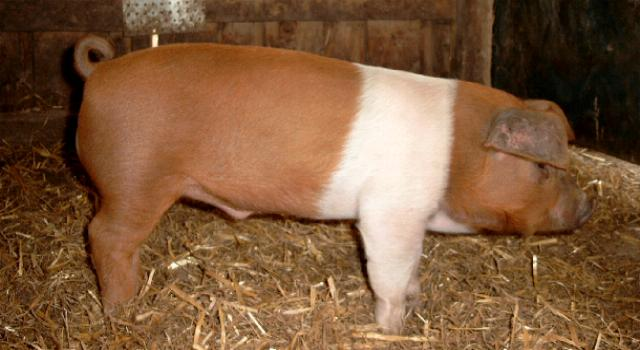 Danish protest types of pig breeds