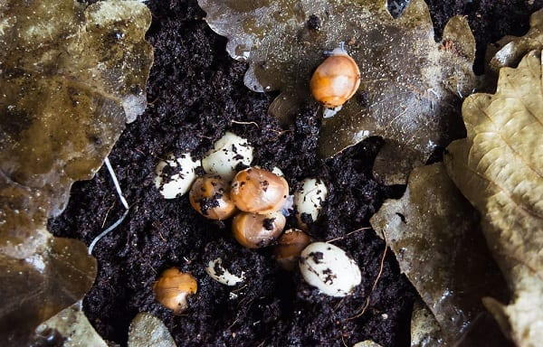 Baby snails emerging from snail eggs