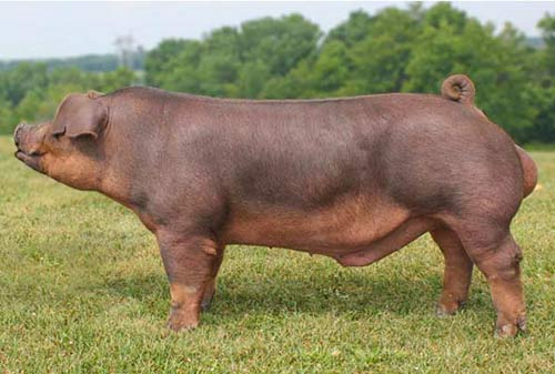 Pig of the Duroc breed