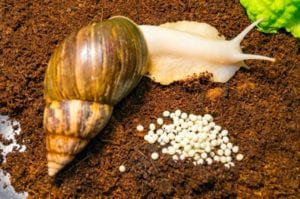 achatina snail and clutch of snail eggs