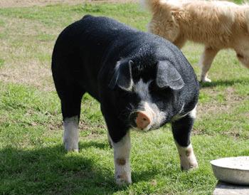 choctaw hog breed