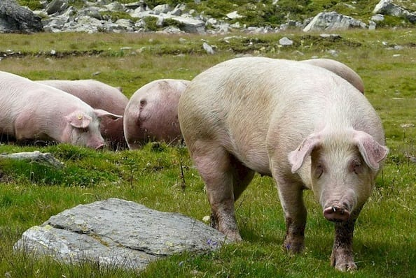 italian landrace pig breeds agro4africa