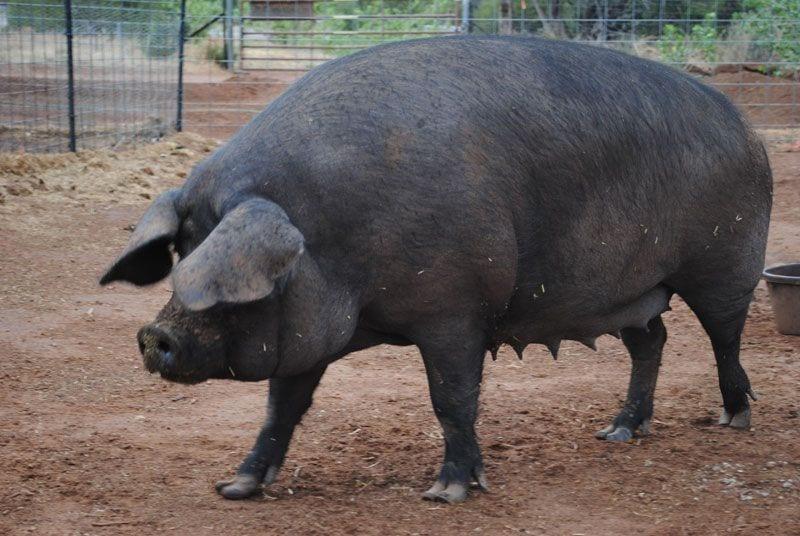 Large black pig breeds - agro4africa