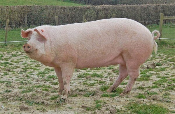 Large white pig breeds - agro4africa