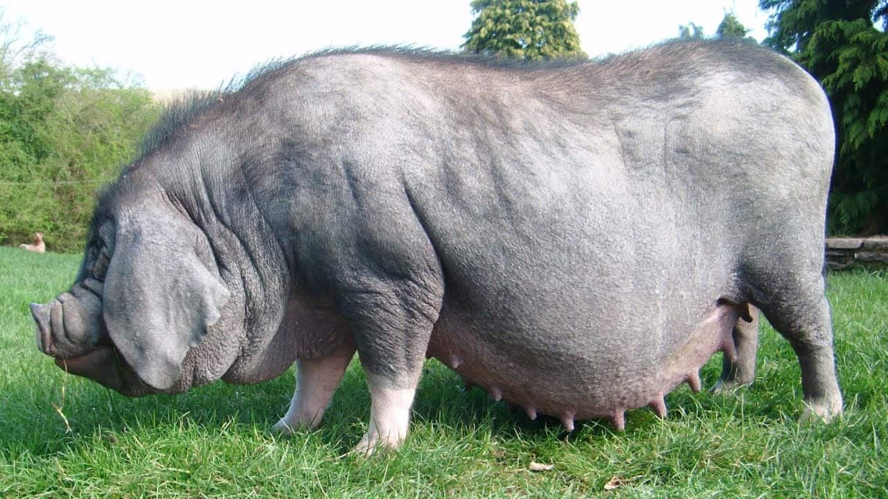 Meishan pigs breeds agro4africa
