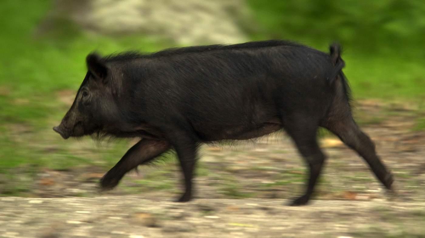 Ossabaw Island pig breeds agro4africa