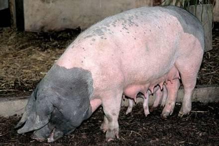 Swabian-Hall-pig-breeds-agro4africa