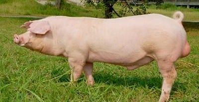 Swedish Landrace pig breed agro4africa