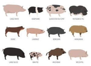 different types of pig breeds - pig farming business