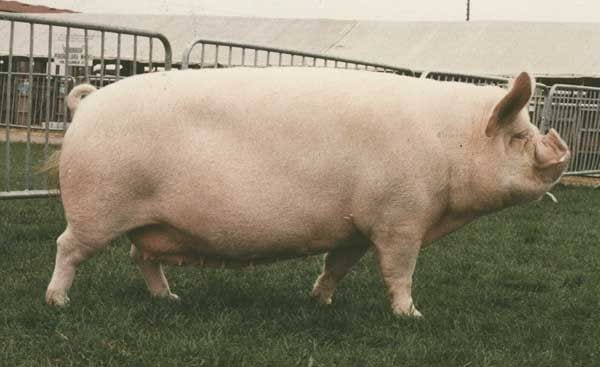 middle white pigs breeds agro4africa
