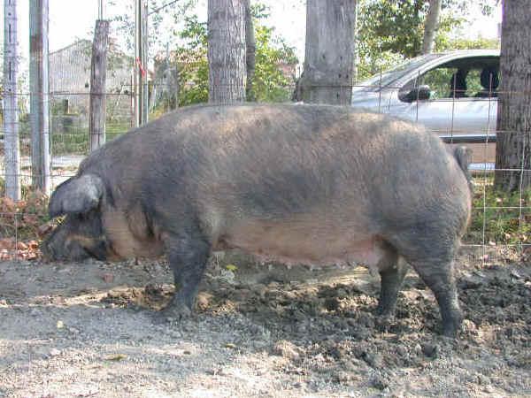 mora romagnola pigs breeds agro4africa