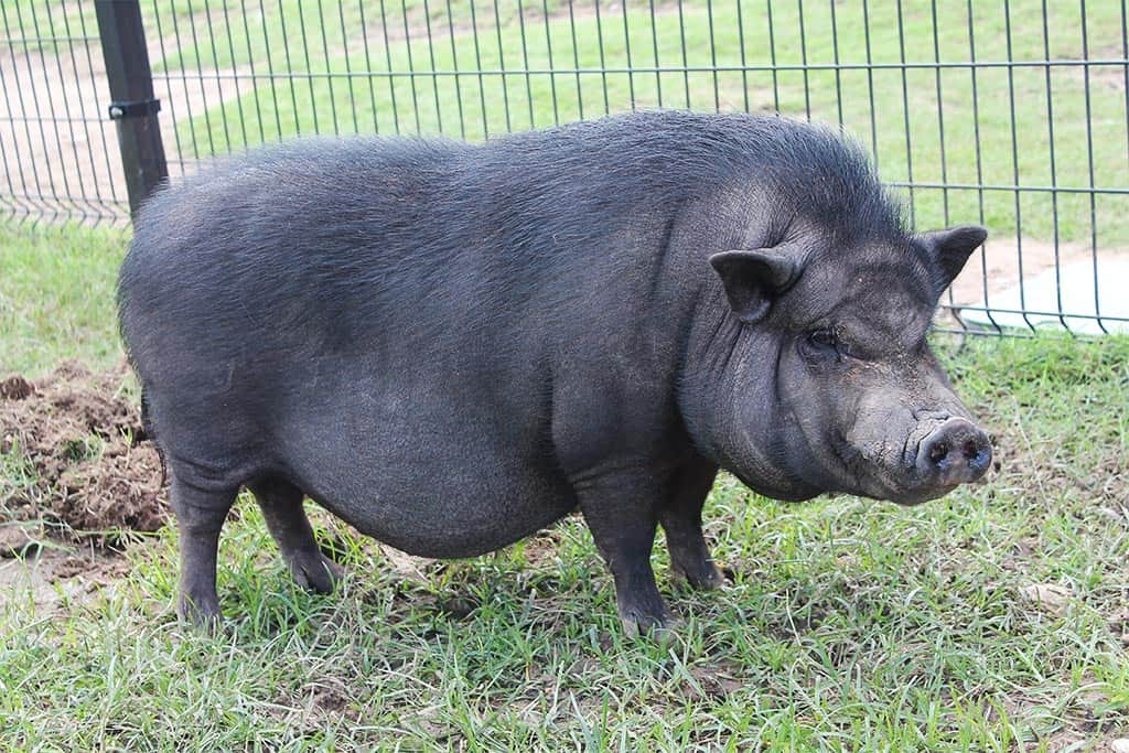 pot-bellied-pig-breeds-agro4africa