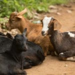 goat-farming-in-africa