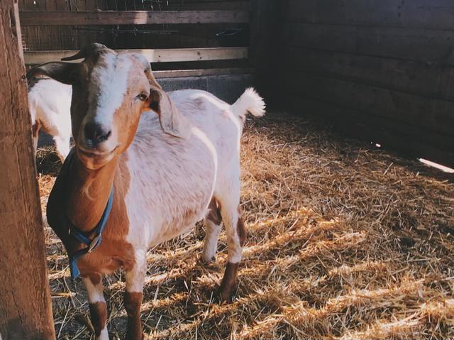 goat-housing