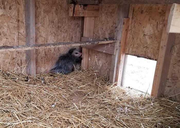 A chicken predator (possum) in a the chicken coop