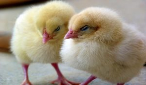 How-to-prevent-and-reduce-poultry-mortality
