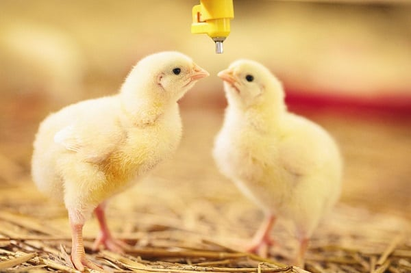 healthy-chicks-drinking-water-from-a-drinker-in-a-poultry-farm