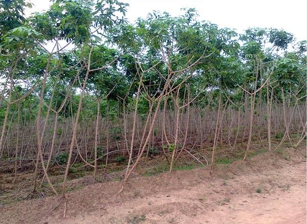 weed-free-cassava-farm