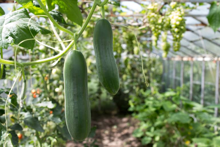 cucumber farming in a greenhouse