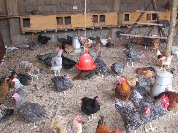 Deep-litter-poultry-farming-system-with-chicken-coop