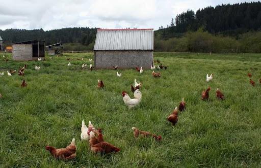 Free-range-chicken-rearing-system