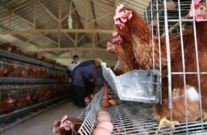 How-to-construct-a-standard-commercial-poultry-housing