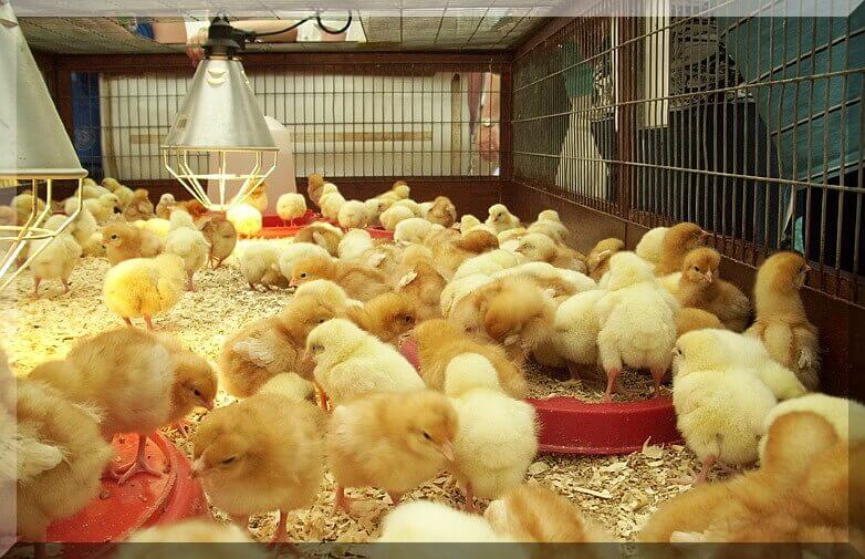 brooder-chicken-house