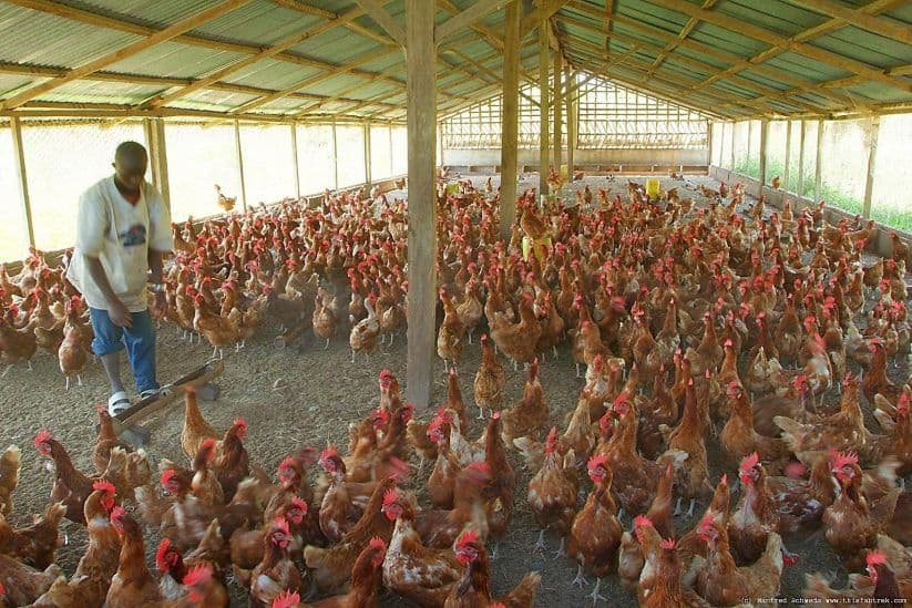 commercial-poultry-housing-deep-litter-system
