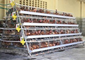 layers-battery-cage-system-of-chicken-farming