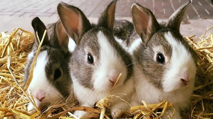 rabbit-breeds-for-farming