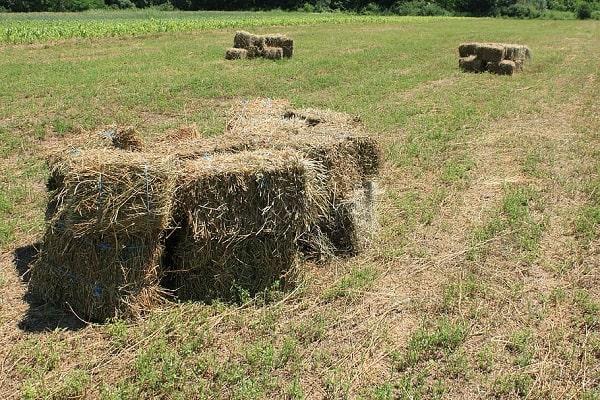 a-food-goats-eat-is-alfalfa-hay