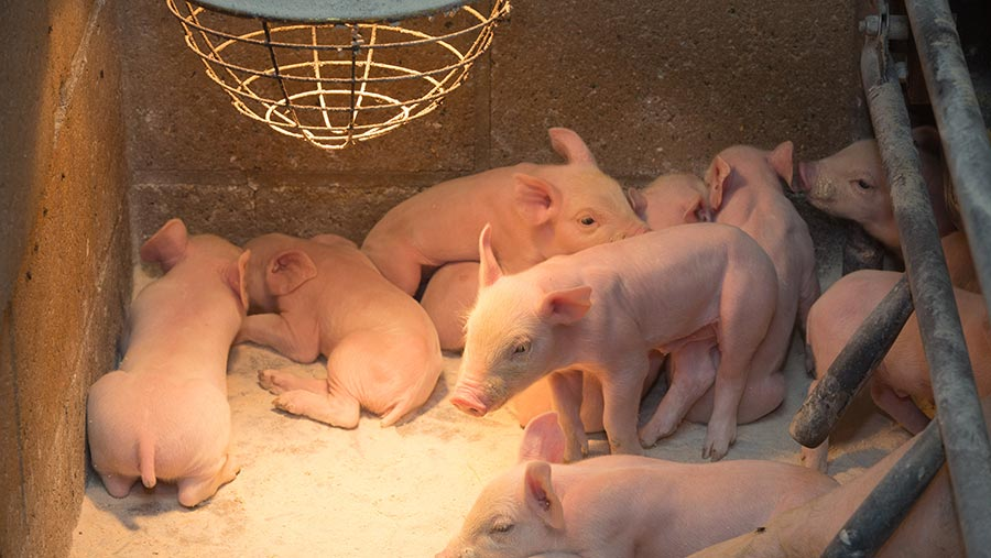 heating-equipment-for-piglets