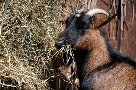 list of food goats eat