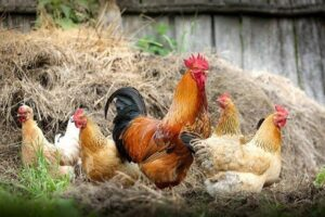 types of poultry breeds
