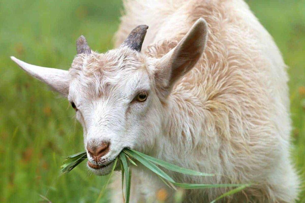 white-goat-eating-grass-in-daytime