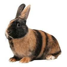 harlequin rabbit breed