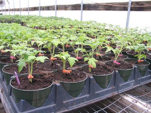how to grow tomatoes farming guide - tomato nursery